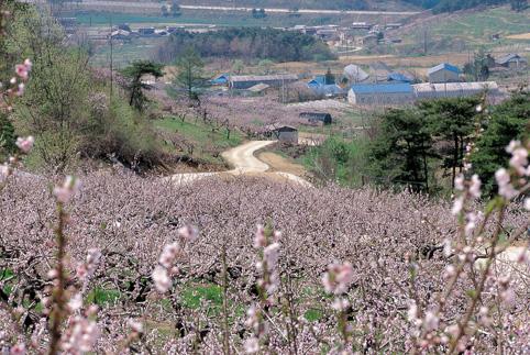 복사꽃 나들이.. 원주 두독마을